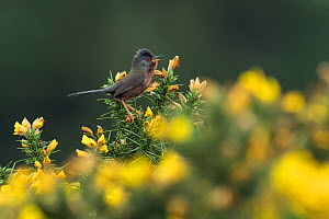 Dartford warbler (Sylvia undata) singing from Gorse bush, Hampshire, England, UK, May  -  Andy Sands