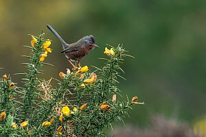 Dartford warbler (Sylvia undata) perched on Gorse bush, Hampshire, England, UK, May  -  Andy Sands