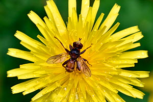 Conopid fly (Sicus ferrugineus) parasitic fly whose larvae are endoparasites on various species of Bumblebee, Oxfordshire, England, UK, June - Andy Sands