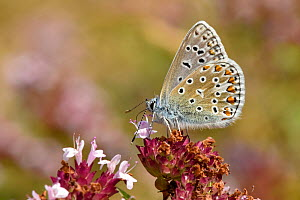 Common blue butterfly (Polyommatus icarus) feeding from Wild marjoram flower, Oxfordshire, England, UK August - Andy Sands