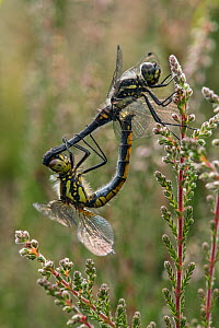 Black darter (Sympetrum danae) mating pair on Heather, Surrey, England, UK, July - Andy Sands