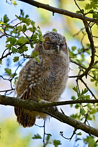 Tawny Owl  (Strix aluco) Chick branching away from nest, Hertfordshire, England, UK, April  -  Andy Sands