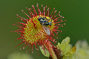 Round-leaved sundew (Drosera rotundifolia) close up of single leaf with insect prey, Surrey, England, UK, August - Focus Stacked Image  -  Andy Sands
