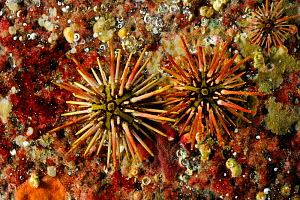 Naked green sea urchin (Arbacia dufresnii) Comau Fjord, Patagonia, Chile  -  Solvin Zankl