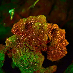 Fluorescent coral photographed with ultraviolet / UV light, Bonaire, Leeward Antilles, Caribbean region, Netherlands Antilles  -  Solvin Zankl