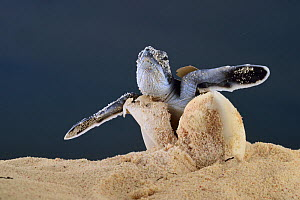 After an incubation period of 45 to 55 days a first hatchling Green turtle (Chelonia mydas) emerges out of the sand, Bonaire, Leeward Antilles, Caribbean region, Netherlands Antilles  -  Solvin Zankl