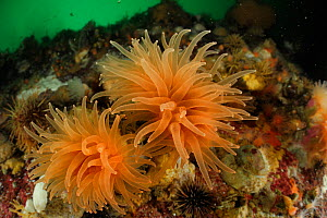 Crested cup coral (Desmophyllum dianthus) a deep-sea coral,  Comau Fjord, Patagonia, Chile  -  Solvin Zankl