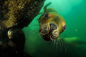 Southern sea lions (Otaria flavescens) Comau Fjord, Patagonia, Chile, Pacific Ocean, January  -  Solvin Zankl