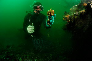 Diver fisherman collecting Chilean blue mussel (Mytilus chilensis) Comau Fjord, Patagonia, Chile, Pacific Ocean, January  -  Solvin Zankl