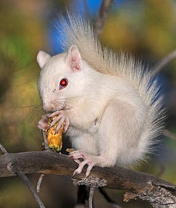 Albino American red squirrel (Tamiasciurus hudsonicus) eating a pine cone from a Ponderosa pine (Pinus ponderosa) Taylor Park, San Isabel National Forest, Colorado, USA.  -  Charlie  Summers
