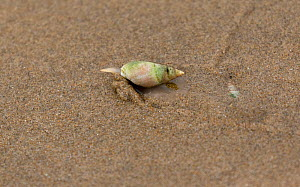 Finger / Plough snail (Bullia digitalis) just coming out of the sand, with another one hiding behind, Buffelsbaai, South Africa, Indian Ocean  -  Charlie  Summers