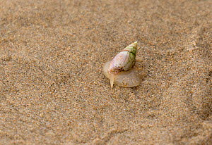 Plough snail (Bullia digitalis) with its finger out (also known as a Finger Plough snail) Bufflesbaai, South Africa, Indian Ocean.  -  Charlie  Summers