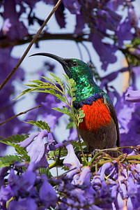 Southern double-collared sunbird (Cinnyris chalybeus) feeding in Jacaranda tree, Baviaanskloof, South Africa, November - Charlie  Summers