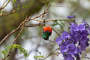 Southern double-collared sunbird (Cinnyris chalybeus) feeding upside down in Jacaranda tree, Baviaanskloof, South Africa, November - Charlie  Summers