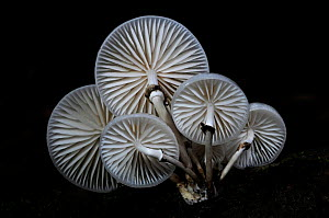 Porcelain / Beech tuft toadstools (Oudemansiella mucida) New Forest, Hampshire, UK October  -  Colin Varndell