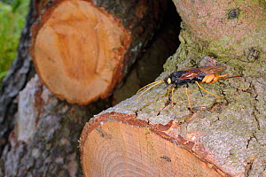 Giant wood wasp (Urocerus gigas) ovipositing / laying eggs in Cedar log, Wiltshire garden, UK, May.  -  Nick Upton