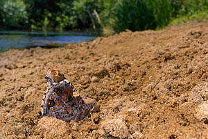 Red admiral butterfly (Vanessa atalanta) mud-puddling for moisture and minerals on riverbank sand, River Avon, Lacock, Wiltshire, UK, July.  -  Nick Upton