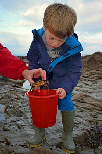 Young boy watches as a Shore crab (Carcinus maenas) caught in a rockpool is placed in his bucket, Cornwall, UK, October. Model released.  -  Nick Upton