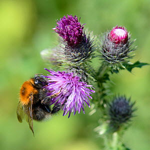 Tree bumblebee (Bombus hypnorum) foraging on Creeping thistle (Cirsium arvense) flower in a meadow, Wiltshire, UK, July. - Nick Upton