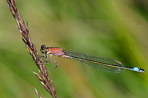 Female Blue tailed damselfly (Ischnura elegans ), rufescens form with salmon coloured thorax, resting on a grass flower, Studland Heath, Dorset, UK, July.  -  Nick Upton