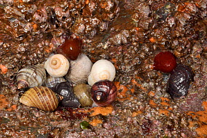 Group of Dog whelks (Nucella lapillus) in an intertidal rock crevice among Acorn barnacles (Balanus perforatus) and Beadlet anemones (Actinia equina), Cornwall, UK, April. - Nick Upton