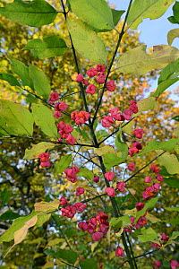 Spindle tree berries (Euonymus europaeus) with orange seeds visible in splitting capsular fruits, Gloucestershire, UK, October.  -  Nick Upton