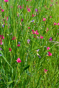 Grass vetchling (Lathryrus nissolia) flowering in a coastal grassland meadow, RSPB Dungeness Nature Reserve, Kent, UK, May.  -  Nick Upton