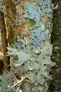 Tree lungwort / Lung lichen (Lobaria pulmonaria) growing on a treetrunk in ancient Atlantic woodland, Knapdale Forest, Argyll, Scotland, UK, May.  -  Nick Upton