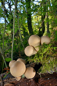 A cluster of Stump puffball fungi (Lycoperdon pyriforme) emerging from a rotting log in deciduous woodland, LWT Lower Woods reserve, Gloucestershire, UK, October. - Nick Upton