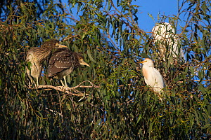 Two Black-crowned night heron (Nycticorax nycticorax) chicks, aged 4 weeks, at rookery with Cattle egret (Bubulcus ibis), Sonoma County, California, USA.  -  Suzi Eszterhas