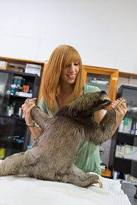 Brown-throated Three-toed sloth (Bradypus variegatus) being examined by Rebecca Cliff, Sloth Biologist, prior to putting on a sloth backpack radio collar before release, Aviarios Sloth Sanctuary, Cost... - Suzi Eszterhas