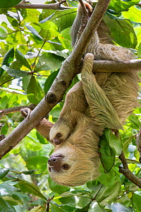 Hoffmann's Two-toed sloth (Choloepus hoffmanni) mother and baby, aged 2 months, in tree, Costa Rica. Rescued and released by Aviarios Sloth Sanctuary.  -  Suzi Eszterhas