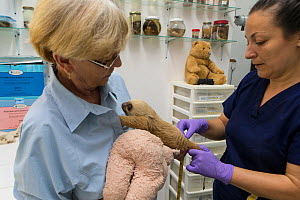 Hoffmann's Two-toed sloth (Choloepus hoffmanni) baby, aged 2 months, being examined by Judy Avey-Arroyo, owner of Sloth Sanctuary, and Yolanda Ruba, veterinarian, prior to release with mother, Aviario...  -  Suzi Eszterhas