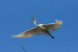 Great egret (Ardea alba) in flight, carrying nesting material, Sonoma County, California, USA.  -  Suzi Eszterhas