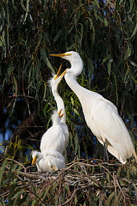 Great egret (Ardea alba) with three chicks, aged 4 weeks, begging for food in nest, Sonoma County, California, USA.  -  Suzi Eszterhas