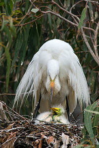 Great egret (Ardea alba) using wings to shield chicks, aged one week, in nest, Sonoma County, California, USA.  -  Suzi Eszterhas