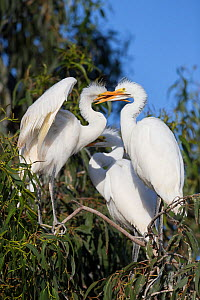 Great egret (Ardea alba) chicks, aged 4-5 weeks, fighting, Sonoma County, California, USA.  -  Suzi Eszterhas