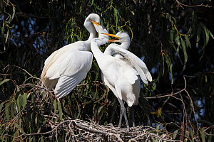 Great egret (Ardea alba) parent feeding chick, aged 4-5 weeks, while the other chick bites its sibling, Sonoma County, California, USA.  -  Suzi Eszterhas