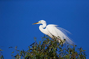 Great egret (Ardea alba) in breeding plumage, Sonoma County, California, USA.  -  Suzi Eszterhas
