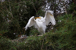 Great egret (Ardea alba) fledgling, aged 4-5 weeks, displaying in tree, Sonoma County, California, USA.  -  Suzi Eszterhas