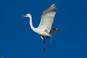 Great egret (Ardea alba) in flight, Sonoma County, California, USA.  -  Suzi Eszterhas