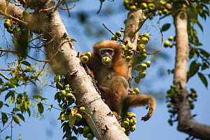 Western hoolock gibbon (Hoolock hoolock) feeding in tree, Assam, India.  -  Sandesh  Kadur