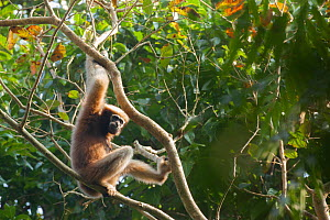 Western hoolock gibbon (Hoolock hoolock) in tree,Assam, India.  -  Sandesh  Kadur