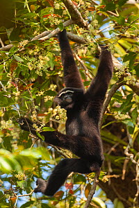 Western hoolock gibbon (Hoolock hoolock) male hanging from branch, Assam, India.  -  Sandesh  Kadur