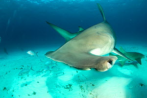 Great hammerhead shark (Sphyrna mokarran) swimming over sandy seabed with a Nurse shark (Ginglymostoma cirratum), Bar jacks (Caranx ruber) and Remora fish in the background, South Bimini, Bahamas. The... - Franco  Banfi
