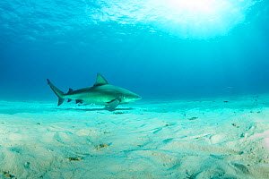Bull shark (Carcharhinus leucas), swimming over sandy seabed, South Bimini, Bahamas. The Bahamas National Shark Sanctuary, West Atlantic Ocean.  -  Franco  Banfi