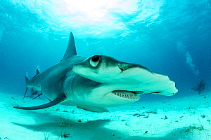Close up if a Great hammerhead shark (Sphyrna mokarran) swimming over sandy seabed, South Bimini, Bahamas. The Bahamas National Shark Sanctuary, West Atlantic Ocean. - Franco  Banfi