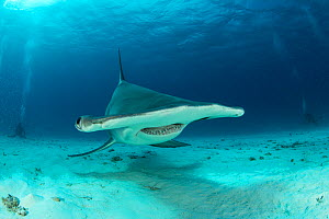 Front view of a Great hammerhead shark (Sphyrna mokarran) swimming over sandy seabed, South Bimini, Bahamas. The Bahamas National Shark Sanctuary, West Atlantic Ocean. - Franco  Banfi
