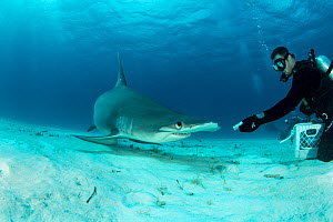 Great hammerhead shark (Sphyrna mokarran) being hand-fed by a scuba diver on the seabed, South Bimini, Bahamas. The Bahamas National Shark Sanctuary, West Atlantic Ocean. - Franco  Banfi