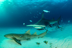 Great hammerhead shark (Sphyrna mokarran) swimming over sandy seabed with resting Nurse sharks (Ginglymostoma cirratum), Bar jacks (Caranx ruber) and Remora fish, South Bimini, Bahamas. The Bahamas Na...  -  Franco  Banfi